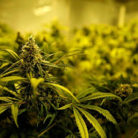 festival delta9 falará sobre plantio e uso de cannabis