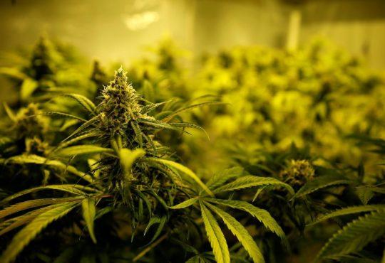 Natal sediará festival inédito sobre uso da cannabis medicinal